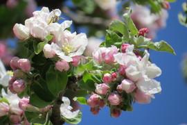 Galeria Kwitnące drzewa uczniów klasy II